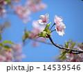 カワヅザクラ 春 花の写真 14539546