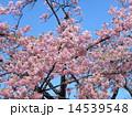 カワヅザクラ 春 花の写真 14539548
