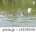 ユリカモメ オナガガモ 池の写真 14539549
