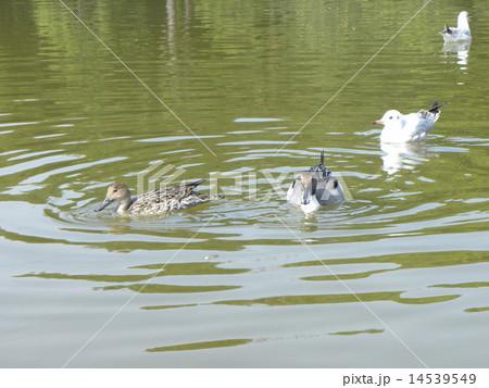 稲毛海浜公園の池で泳ぐ冬の渡り鳥オナガガモの番とユリカモメ 14539549