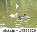 オナガガモ 番 池の写真 14539629