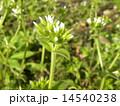 オランダミミナグサの白い花 14540238