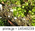 ハコベ 野草 花の写真 14540239