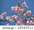 JR稲毛海岸駅前のカワヅザクラが1分葉桜になりました 14545511