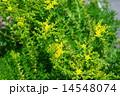 開花 メキシコ万年草 花の写真 14548074