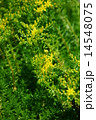 開花 メキシコ万年草 花の写真 14548075
