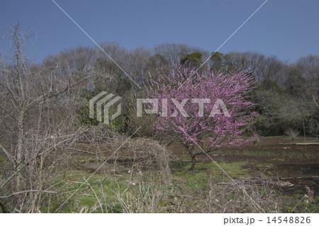 梅の咲く畑・小山田緑地 14548826