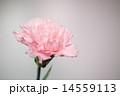 ピンク色のカーネーション 14559113