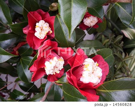 濃い赤の一重咲きに花芯が特長的なツバキ、ムラゲ。 14560828