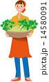 収穫 セロリ 14580091