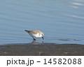 干潟のミユビシギ 14582088