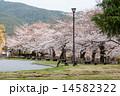 京都市美術館 ソメイヨシノ 桜の写真 14582322