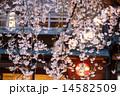 祇園白川 ソメイヨシノ 桜の写真 14582509