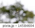 女郎蜘蛛 蜘蛛 虫の写真 14584604