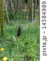 たけのこ 竹林 竹の写真 14584989
