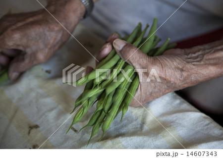 インゲン豆の仕分け作業 14607343