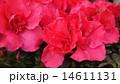 アザレア 西洋ツツジ ツツジの写真 14611131