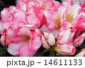 西洋ツツジ アザレア ツツジの写真 14611133
