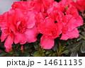 真紅のアザレア 14611135