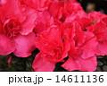 真紅のアザレア 14611136