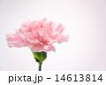 ピンク色のカーネーション 14613814