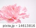 ピンク色のカーネーション 14613816