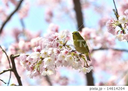 季節の花 杏 14614204