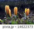 yellow crocus spring 14622373