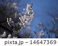 サクラ 14647369