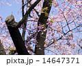 サクラ 14647371