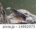 ドジョウ サギ ゴイサギの写真 14662073