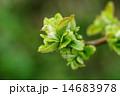 花梨 安蘭樹 新緑の写真 14683978