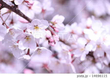 桜(ソメイヨシノ) 14696115