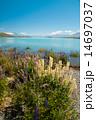 ルピナスとテカポ湖 14697037