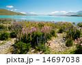 ルピナスとテカポ湖 14697038