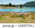 ルピナスとテカポ湖 14697041