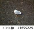 鳥 水鳥 野鳥の写真 14699229