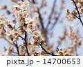 白梅 南高梅 梅の写真 14700653