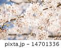 桜 14701336