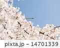 桜 14701339