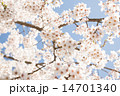 桜 14701340