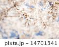 桜 14701341