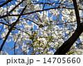桜花 メジロ 桜の写真 14705660