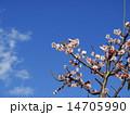 南高梅 白梅 梅の写真 14705990
