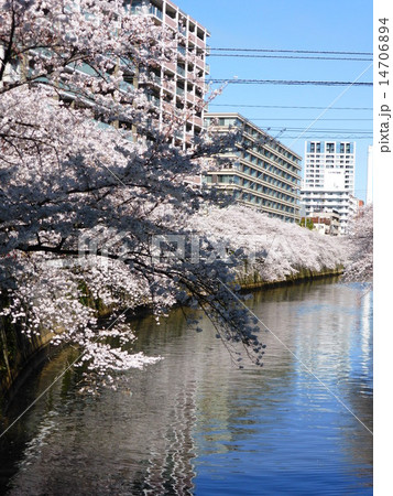 目黒川の桜並木 14706894