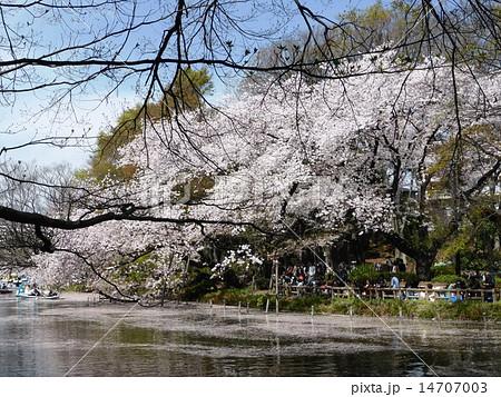 春 桜満開の井の頭公園 14707003
