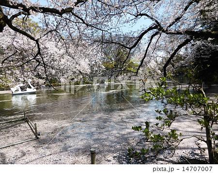 春 桜満開の井の頭公園 14707007