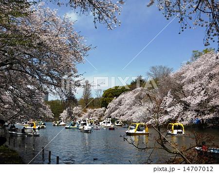 春 桜満開の井の頭公園 14707012