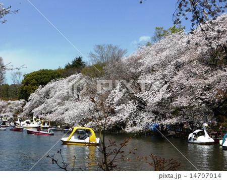 春 桜満開の井の頭公園 14707014