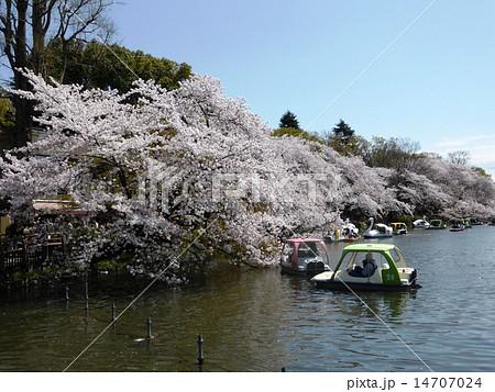 春 桜満開の井の頭公園 14707024